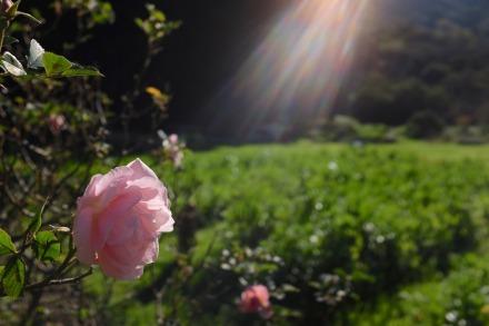 shundo rose